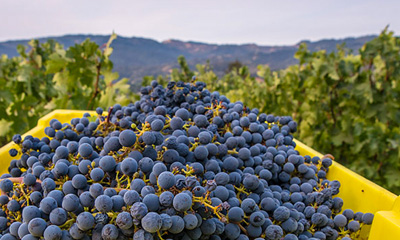 All About Napa Valley Wine Harvest