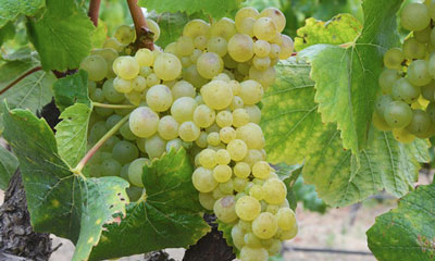 Napa Valley's Wine Grapes