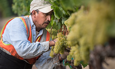 Follow the Napa Harvest action