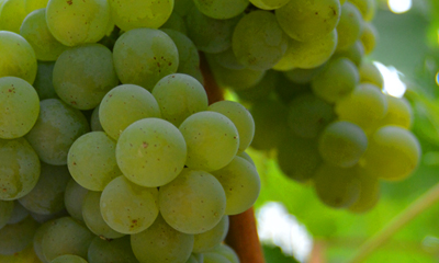 Current Release Sauvignon Blancs