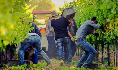 Napa Valley Harvest Interns Needed 2020