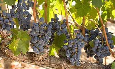 Napa Valley Grape Varieties