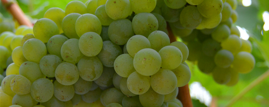 Napa Valley Current Release Sauvignon Blancs